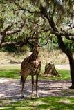 Cibo della giraffa fotografia stock