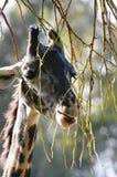 Cibo della giraffa Fotografie Stock Libere da Diritti