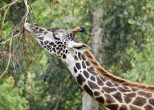 Cibo della giraffa Immagine Stock