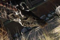 Cibo della giraffa Immagini Stock