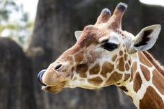 Cibo della giraffa Fotografie Stock