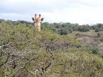 Cibo della giraffa Fotografia Stock Libera da Diritti