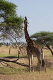 Cibo della giraffa di un Rothschild Fotografia Stock Libera da Diritti