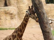 Cibo della giraffa a Valencia Fotografia Stock Libera da Diritti