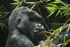 Cibo della gorilla Fotografie Stock
