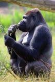 Cibo della gorilla Fotografia Stock Libera da Diritti