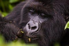 Cibo della gorilla della Ruanda del primo piano Immagini Stock
