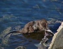 Cibo della lontra di mare Immagini Stock Libere da Diritti
