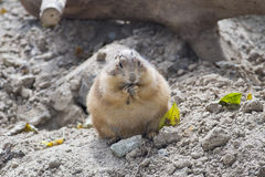 Cibo della marmotta Immagine Stock