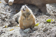 Cibo della marmotta Immagini Stock Libere da Diritti