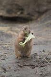 Cibo della marmotta fotografia stock