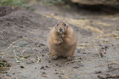 Cibo della marmotta Fotografia Stock Libera da Diritti