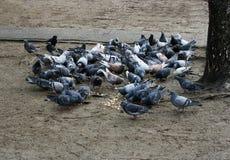 Cibo della moltitudine del piccione Immagine Stock Libera da Diritti