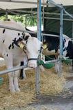 Cibo della mucca Immagini Stock