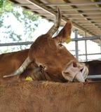 Cibo della mucca Immagine Stock