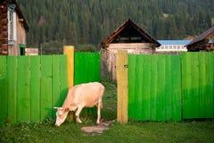 Cibo della mucca Fotografia Stock Libera da Diritti