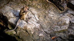 Cibo della scimmia Fotografie Stock Libere da Diritti