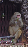 Cibo della scimmia Fotografie Stock