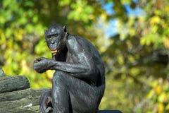 Cibo della scimmia del bonobo Fotografia Stock