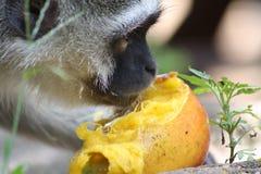 Cibo della scimmia di Vervet Immagini Stock Libere da Diritti