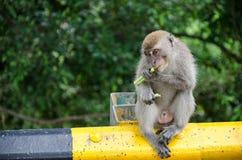 Cibo della scimmia selvaggia a Bukit Melawati, la Malesia Immagini Stock