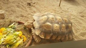 Cibo della tartaruga in uno zoo Fotografia Stock