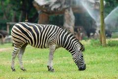 Cibo della zebra fotografie stock libere da diritti