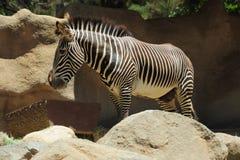 Cibo della zebra Fotografie Stock