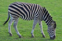 Cibo della zebra Fotografia Stock
