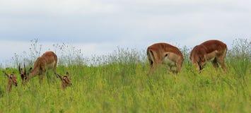 Cibo delle antilopi, parco di safari nel Sudafrica Fotografia Stock