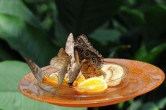Cibo delle farfalle Immagini Stock Libere da Diritti