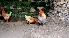 Cibo delle galline e del gallo video d archivio