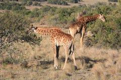 Cibo delle giraffe Fotografie Stock