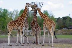 Cibo delle giraffe fotografia stock
