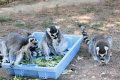 Cibo delle lemure catta Fotografia Stock Libera da Diritti