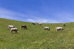Cibo delle mucche Fotografia Stock Libera da Diritti