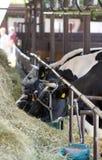Cibo delle mucche Fotografie Stock Libere da Diritti