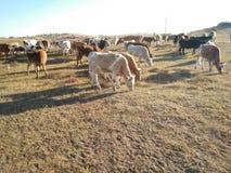 Cibo delle mucche Immagini Stock