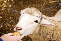 Cibo delle pecore Immagine Stock