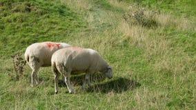 Cibo delle pecore Fotografie Stock