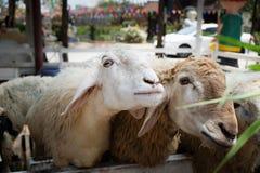 Cibo delle pecore Fotografia Stock Libera da Diritti