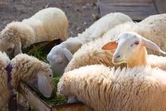 Cibo delle pecore merino Fotografia Stock
