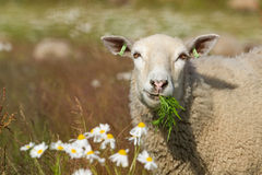 Cibo delle pecore nel campo con i fiori. Immagine Stock Libera da Diritti