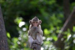 Cibo delle scimmie Fotografia Stock Libera da Diritti