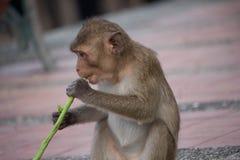 Cibo delle scimmie Immagini Stock