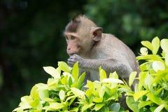Cibo delle scimmie Fotografie Stock Libere da Diritti