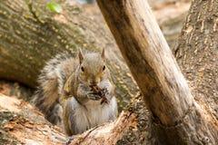 Cibo dello scoiattolo Fotografia Stock Libera da Diritti