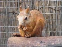 Cibo dello scoiattolo Immagini Stock Libere da Diritti