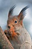 Cibo dello scoiattolo che si siede sull'albero Fotografia Stock Libera da Diritti