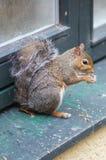 Cibo dello scoiattolo ma Fotografia Stock Libera da Diritti